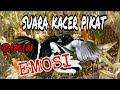 Suara Kacer Pikat Bikin Burung Kacer Ribut Emosi Abank Faiz  Mp3 - Mp4 Download