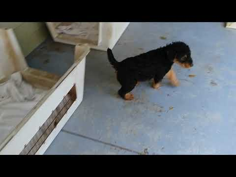 Back Porch With Stout Lee's 7 Weeks Old AKC Airedale Terrier Puppies For Sale On December 26, 2018