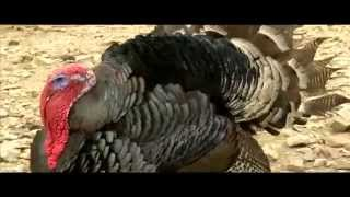 Smart Farm: Turkey Farming