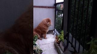 Чау чау Гретта переговариваться с другими собаками