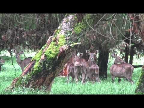 Spotting Mountain Nyala in the Forest - * Rising Shoots *