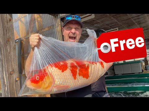 Giant JAPANESE Koi For Free Koi Pond GIVEAWAY!!