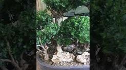 Bonsai Bob Youtube