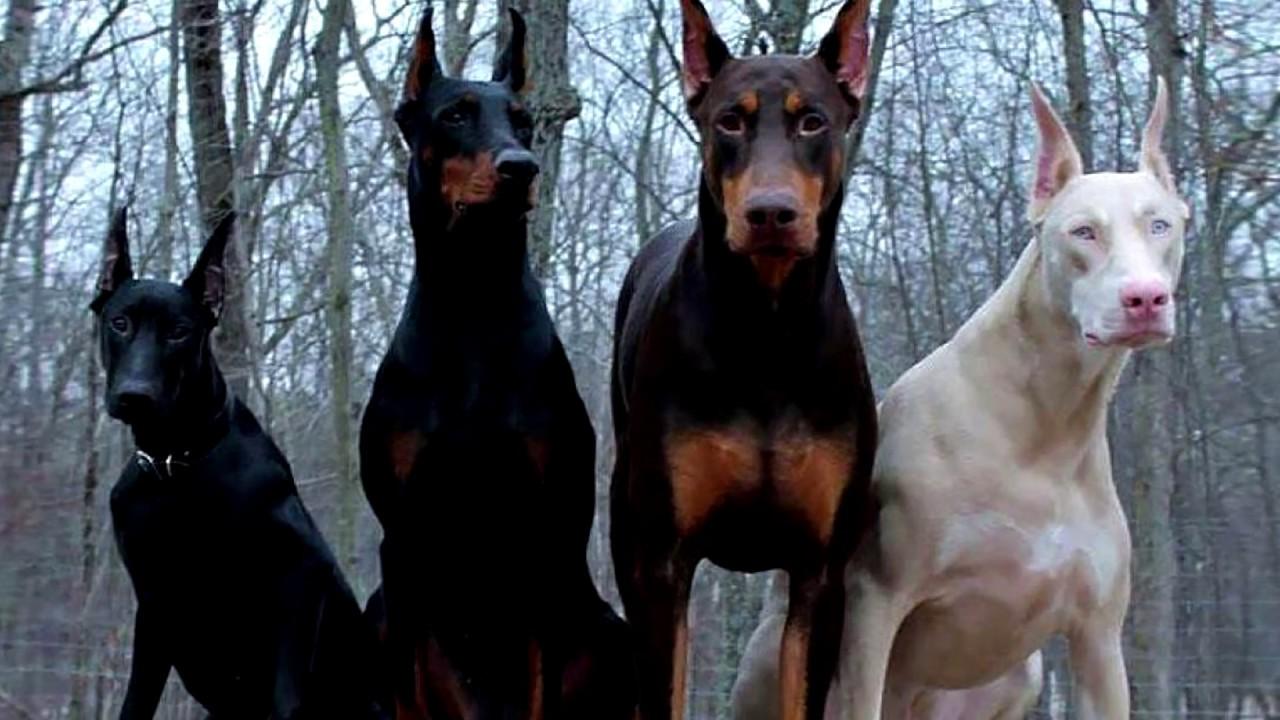 Порода собак. Доберман.Мощная бойцовская порода.Собака зверь!