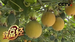 《致富经》 20200108 特色水果带来的财富奇缘| CCTV农业