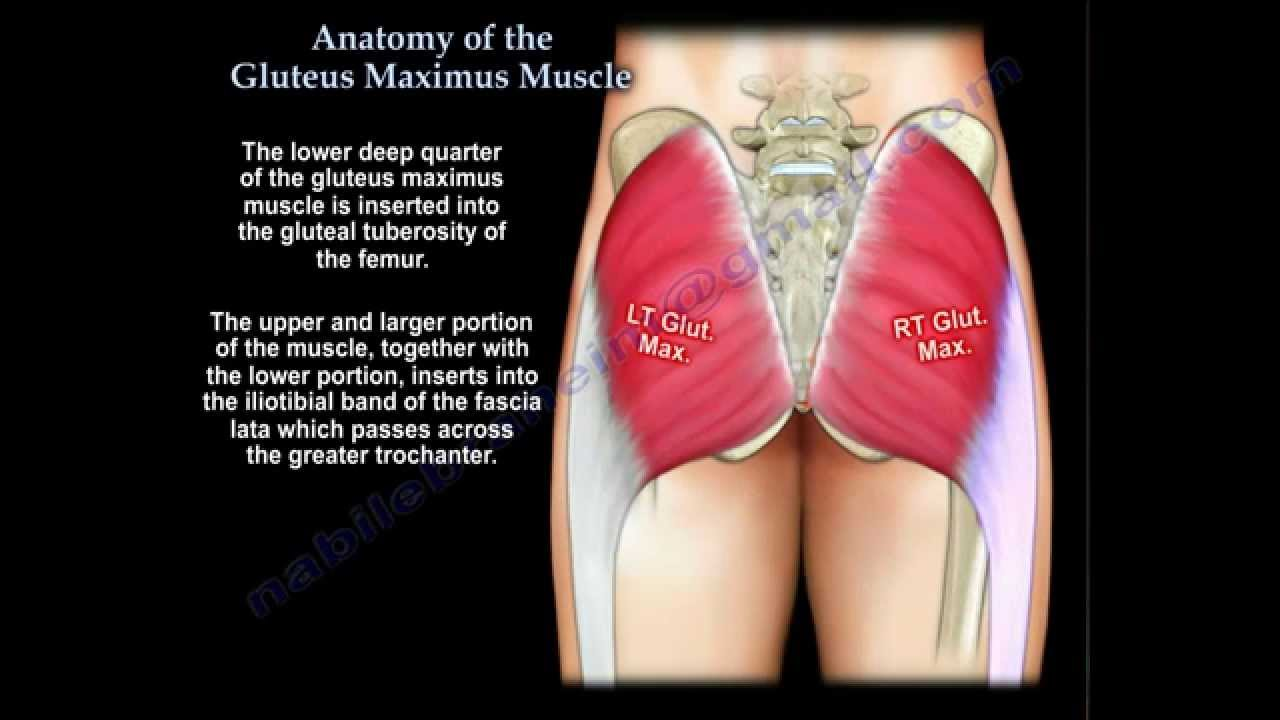 Anatomy Of The Gluteus Maximus Muscle - Everything You Need To Know ...