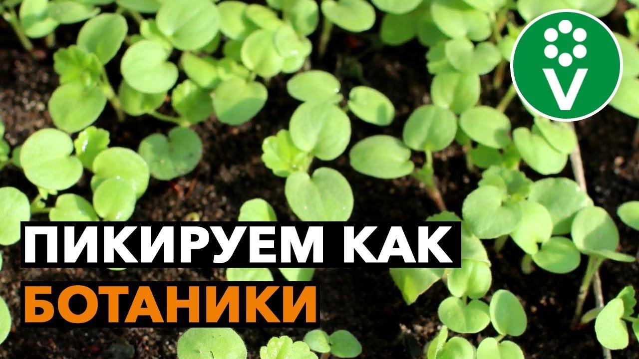 Правила ПИКИРОВКИ ПЕЛАРГОНИИ из семян от эксперта ботанического сада