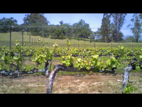 wine article In honor this time of year 2013 Budbreak Time Lapse