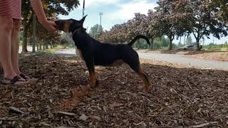 Kaizen  Miniature Bull Terrier  6 to 9mo Puppy Dog