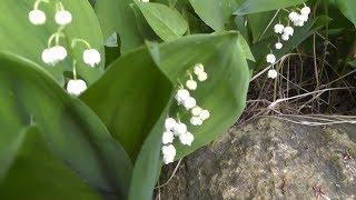Ландыш майский (от ростков до цветения и плодоношения). Лесные зарисовки