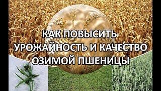 урожайность и качество озимой пшеницы