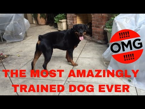 The Best Trained Dog You Will Ever See Amazing Dog Tricks And Listening!