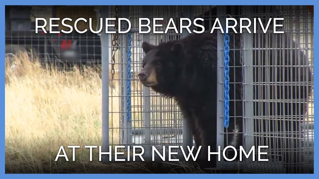 bears-experience-their-new-sanctuary-home