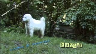 Kuvasz Dog #01 - Puppy Love