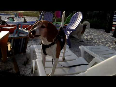 beagle-howling-at-the-beach