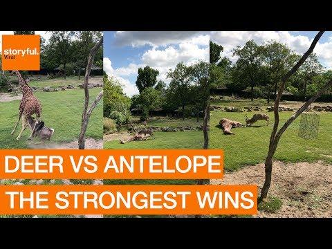 Antelope Stuns Zoo Visitors by Tackling Giraffe (Storyful, Crazy)