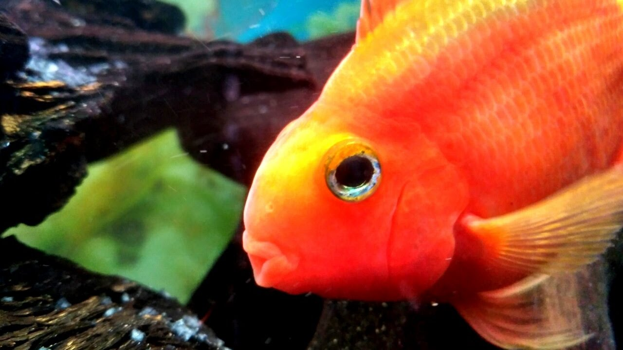 Blood Parrot fish care guide - YouTube