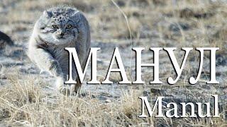 Манул — Manul