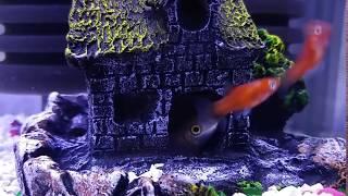 집 청소하는 골든 알지이터청소물고기  Golden al…