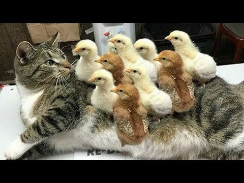 Try Not To Laugh Funny Cat Get Trouble With Trap 😽 Top Cat Video
