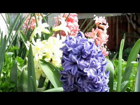 Hyacinths - Amedeo Minghi - Cantare e' d'amore