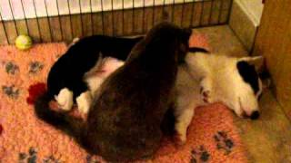 Welsh Corgi Cardigan Puppy And The Cat
