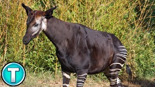 Okapi World&#39s Weirdest Animals