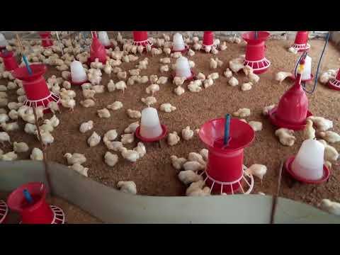 poulrty farm in veerlapalem raja naik