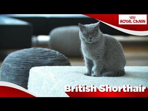 British Shorthair / Brits Korthaar
