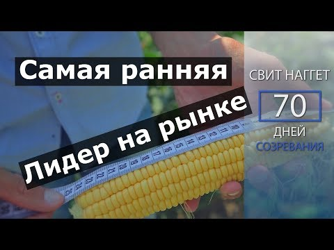 Самая ранняя сладкая кукуруза. Свит Наггет F1. Лидер на рынке кукуруз.
