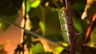 Появление бабочки из кокона