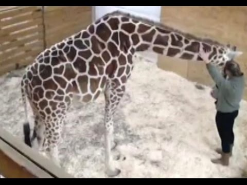 Thumbnail: Pregnant giraffe and zookeeper sharing special moments