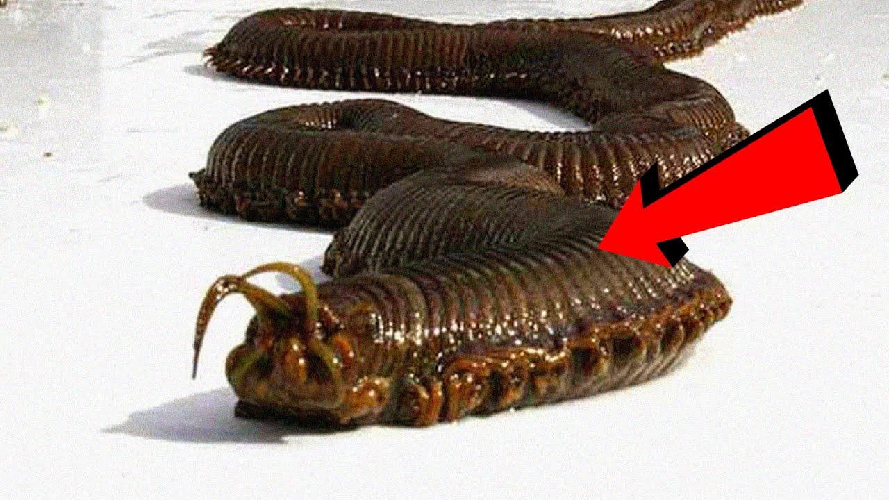gusano de Alaska