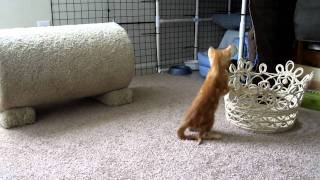 Cute calico kitten playing with her favorite toy mouse