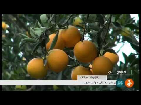 Iran Organic Orange harvest, Mazandaran province برداشت پرتقال استان مازندران ايران