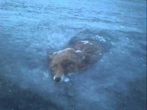 Man finds fox frozen in Swedish lake