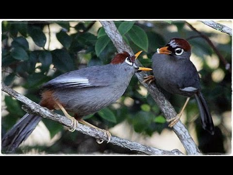 Poksay Mandarin Gacor - Kicau Burung Poksay Suara Padat