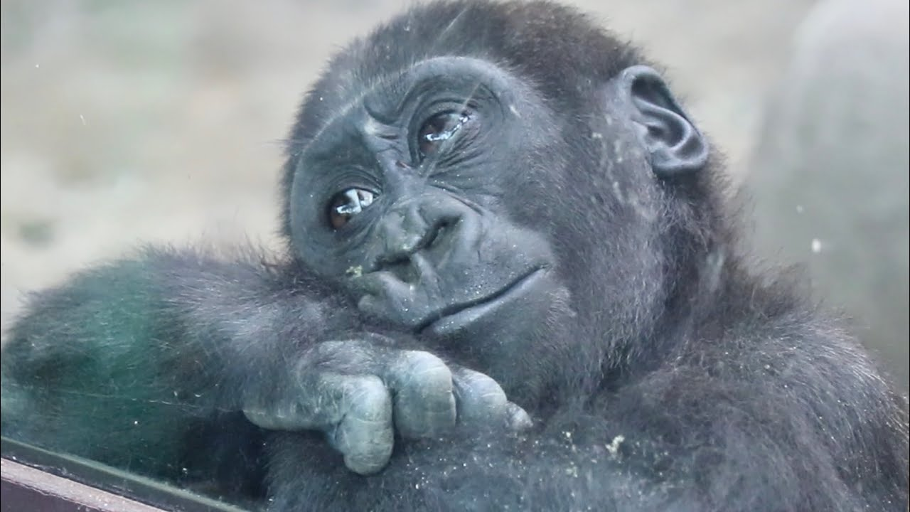 キンタロウがプールで遊ぶ姿は見られるか⁉︎⭐️ゴリラ Gorilla【京都市動物園】Do you think Kintaro will play in the pool in the future?