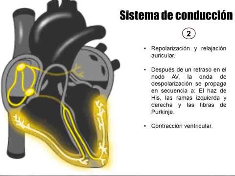 Sistema de conducci n el ctrica del coraz n - Mejor sistema de calefaccion electrica ...