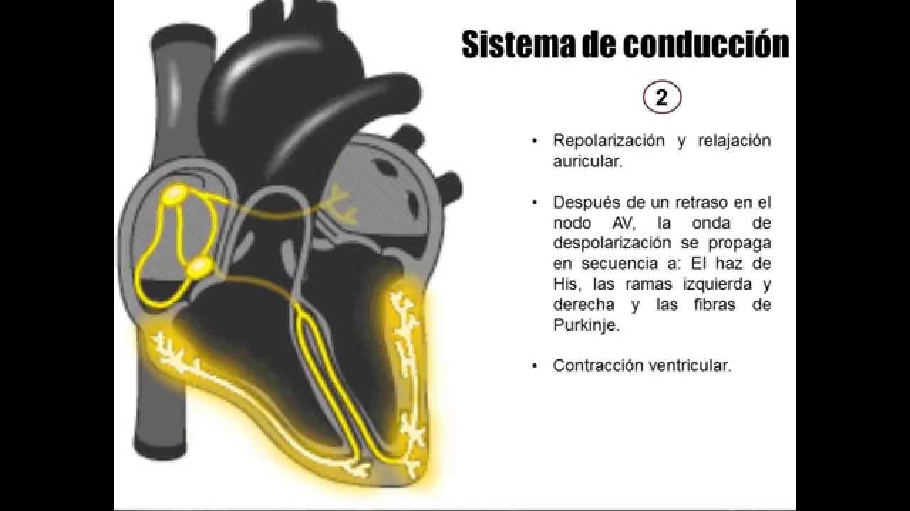 Sistema de conducción eléctrica del corazón - YouTube
