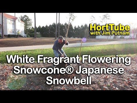 How To Grow Snowcone® Japanese Snowbell - Beautiful White Fragrant Flowering Tree