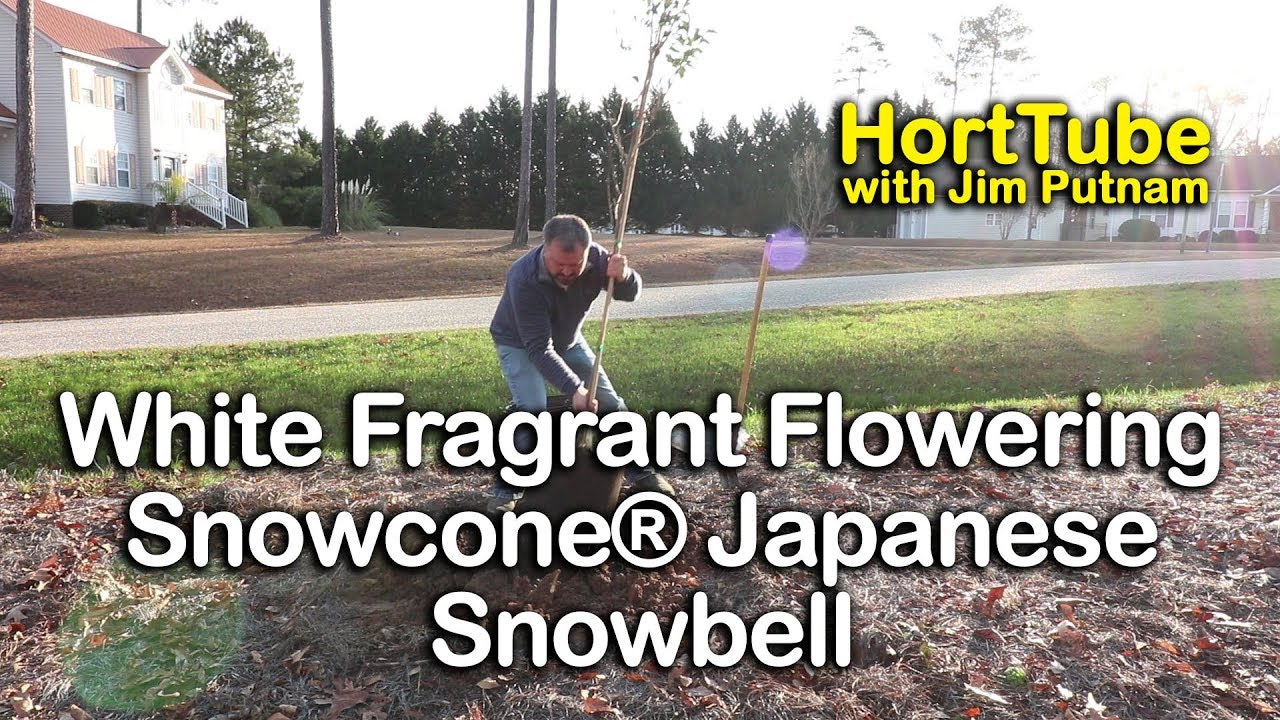 How To Grow Snowcone Japanese Snowbell Beautiful White Fragrant