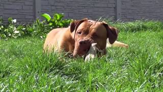Happy, Momo & Hikat French Mastiff - Dogue De Bordeaux