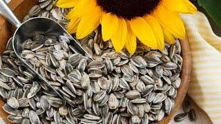 زراعة دوار الشمس - بخمسة قروش فقط  -   Sunflower 1 USD