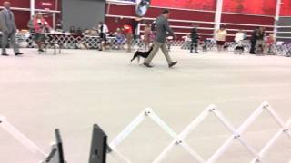 2014 Basenji Club Of America National Specialty - Winners Dog Judging