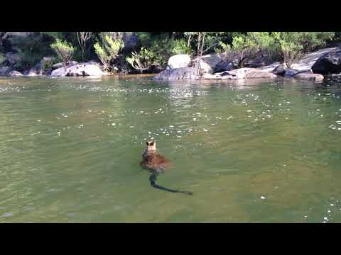 Swimming wallaby [Australia]
