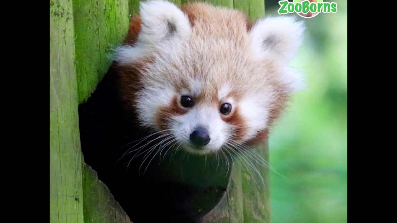 Red Panda Zooborns