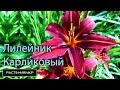 Садовые цветы / Лилейник карликовый