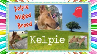 Kelpie mixed breed