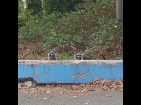 Funny racoons (umpa lumpa song)